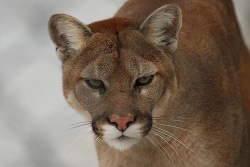 cougar img4