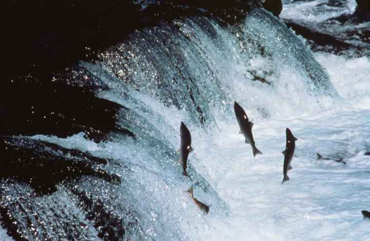 Adult_sockeye_salmon_encounter_a_waterfall_on_their_way_up_river_to_spawnMarvina Munch fWS