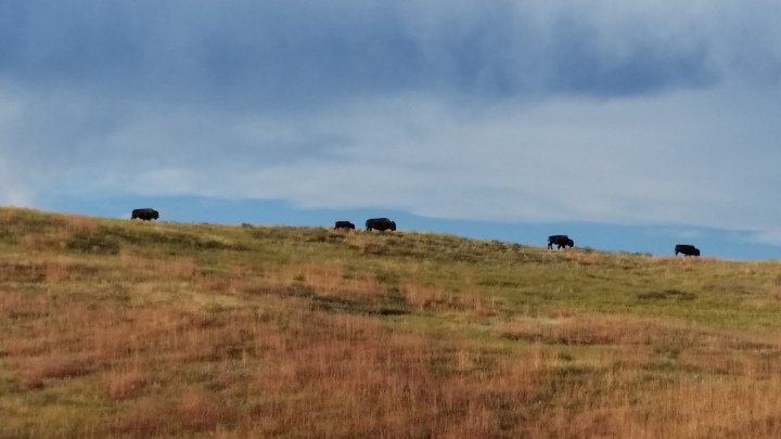 Bison Black Hillsihabfjfd